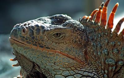 Leguan - Iguana